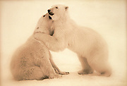 Image of two polar bears (Ursus maritimus) playing in a snow field near Churchill in Manitoba, Canada  (toned black & white conversion)