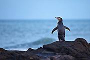Yellow-eyed Penguin, Curio Bay, New Zealand