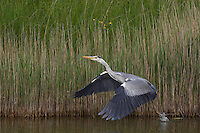Grey Heron (Ardea cinerea), Texel, the Netherlands