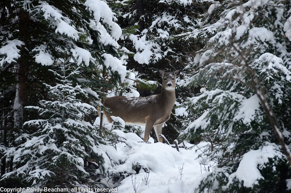 Whitetail doe winter. Yaak Valley in the Purcell Mountains,northwest Montana.