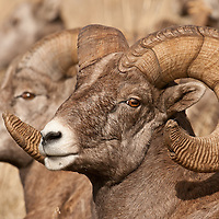 bighorn rams trophy sheep close full frame wild rocky mountain big horn sheep