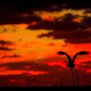 At sunrise a Great Blue Heron takes flight into the reddish orange skies of a new day on Palm Bay.   <br />