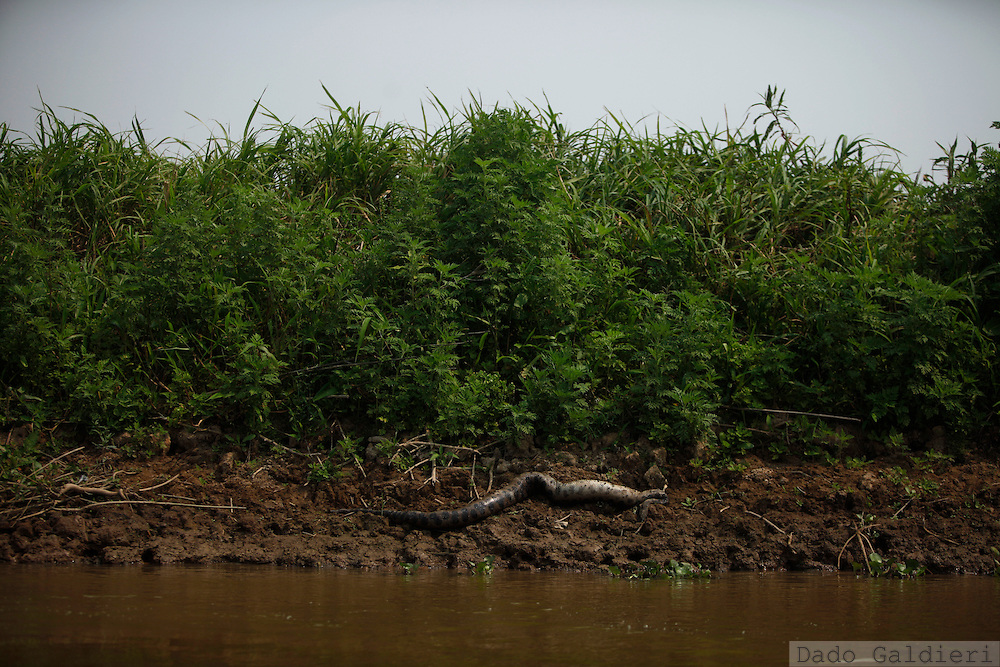 A Green Anaconda lies dead on the riverbanks of the Pailas river near the farming complex of Las Londras, Santa Cruz, Bolivia, Sunday, Aug. 22, 2010.(Hilaea Media/Dado Galdieri).