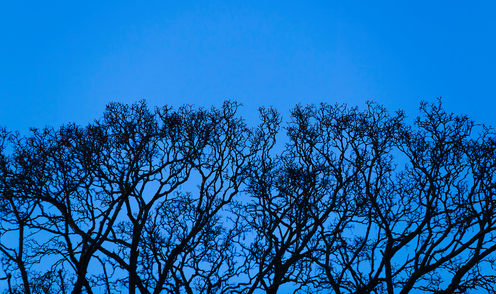 """Growth"" - Fine Art Limited Edition Print. 20 prints. Tree top branches and sky at dusk. Queen Anne Hill, Seattle, Washington."