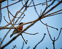 American Robin. Image taken with a Nikon 1V1 camera, FT1 adapter, and 70-200 mm f/2.8 lens (ISO 100, 200 mm, f/2.8. 1/400 sec).