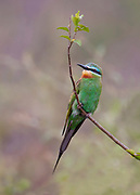 Blue-cheeked Bee-eater (Merops persicus) from the White Nile, Uganda.
