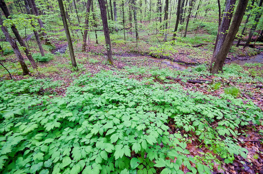 Blue Cohosh, Caulophyllum thalictroides, Tuscola County, Michigan