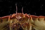 Edible crab (Cancer pagurus) portrait, Atlantic Ocean, Strømsholmen, North West Norway | Verglichen mit seinem mächtigen Panzer sind Augen und Antennen des Taschenkrebses (Cancer pagurus) winzig. Die empfindlichen Sinnesorgane können zum Schutz in Gruben des Panzers eingeklappt werden.