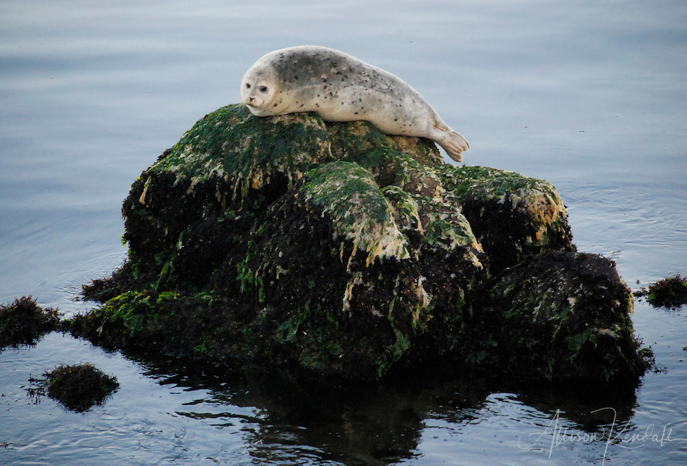 A harbor seal rests, perched on a rock in Monterey harbor at low tide
