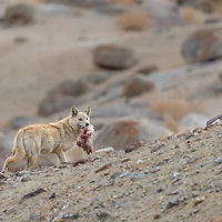 Tibetan Wolf with Kill, Photographed at Ladakh, India.