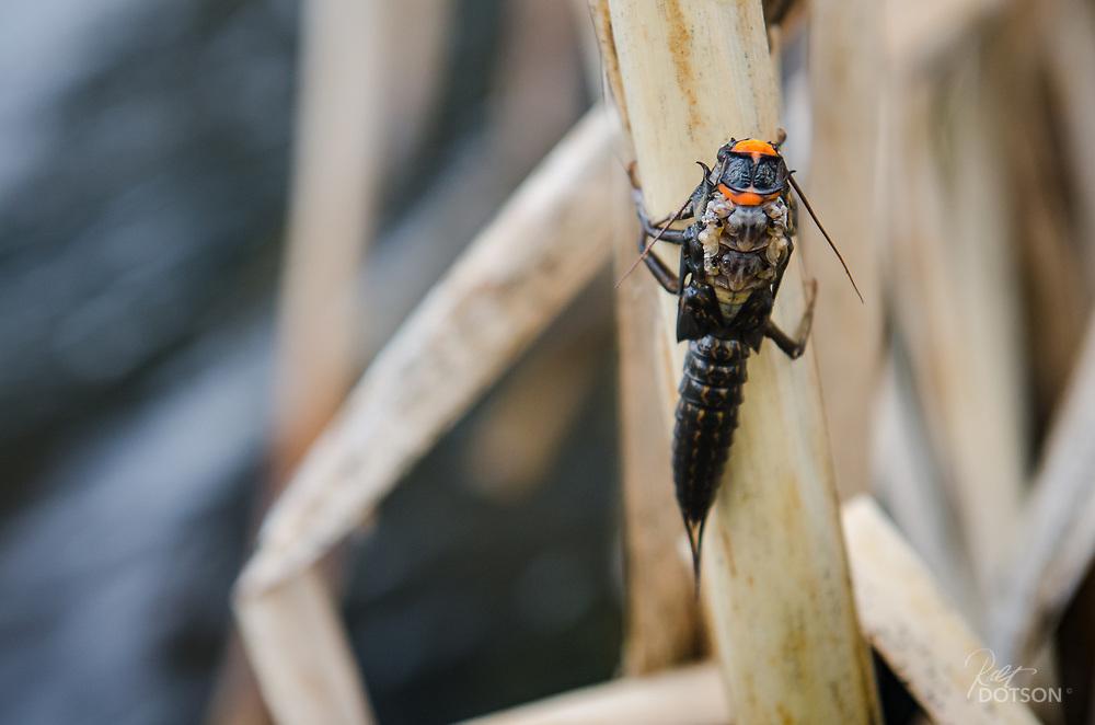 Salmonfly emergance