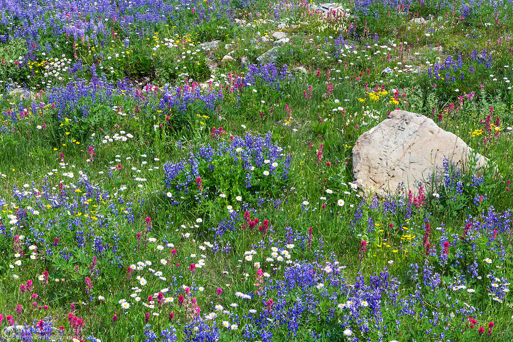 Wildflowers (mostly Lupines, Magenta Paintbrush and Alpine Asters) along the Naches Peak Loop Trail in Mount Rainier National Park in Washington State, USA.