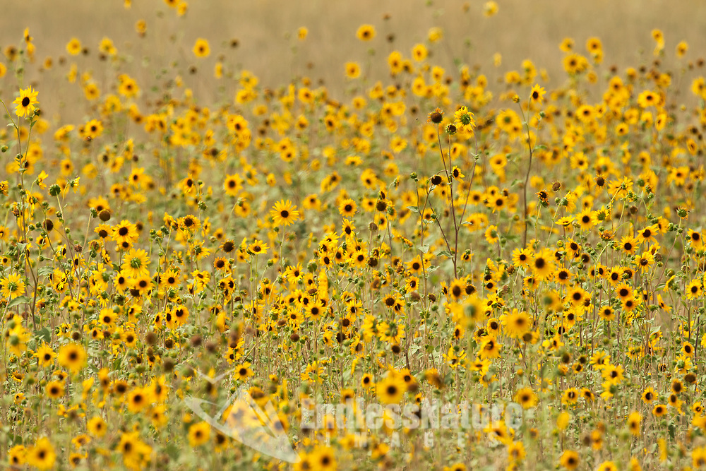 A large patch of Little Sunflowers yellow flowers that are found in western mountains and farmland in the valleys.