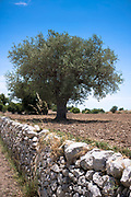 Typical olive tree and dry stone wall in Sicily, Italy