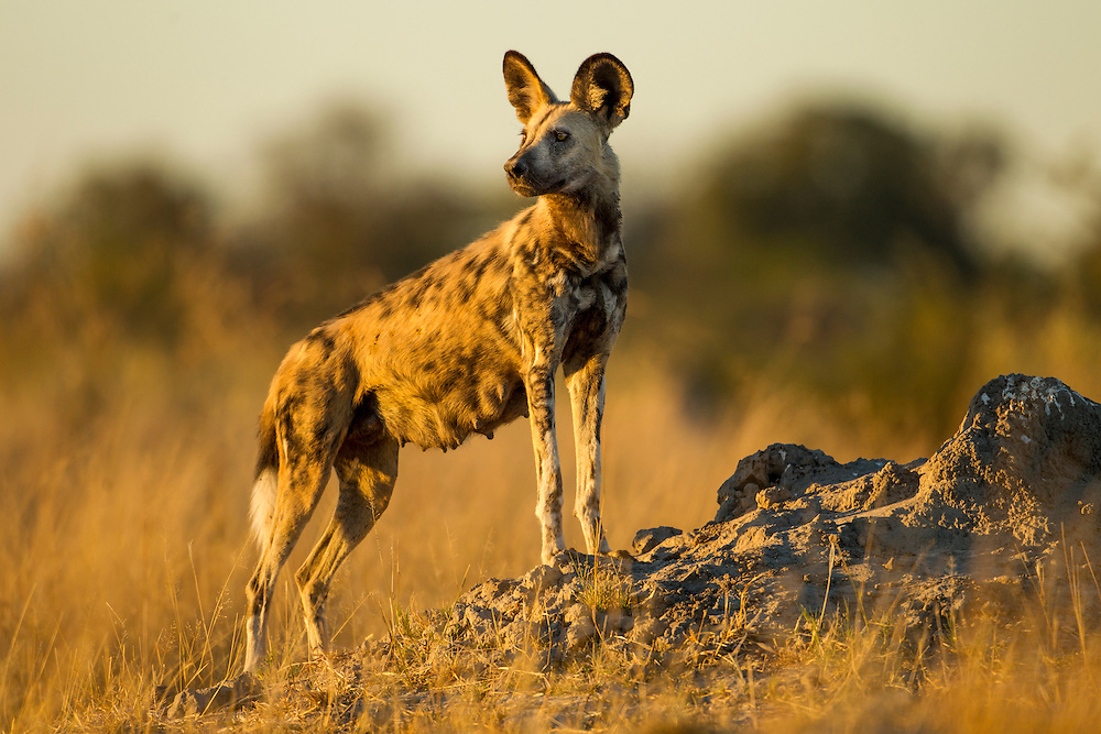 Africa, Botswana, Moremi Game Reserve, Wild Dog (Lycaon pictus) standing in tall grass in Okavango Delta before dawn