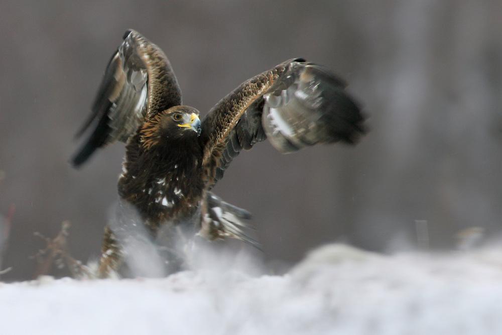 Golden Eagle (Aquila chrysaetos), the Carpathians; Carpathian Mountains; Bieszczady Mountains; Poland