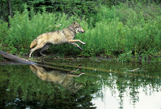 Gray Wolf, (Canis lupus) Lone wolf running along edge of beaver pond. Montana.  Captive Animal.