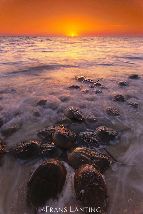 Horseshoe crabs spawning, Limulus polyphemus, Delaware Bay, New Jersey