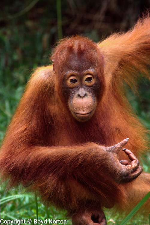 "Orangutan. Borneo rain forest.Tanjung Puting National Park, Kalimantan, Borneo, Indonesia. Highly endangered due to destruction of rainforest habitat.  Name derived from ""orang"" and ""hutan"", literaly ""man of the forest"""