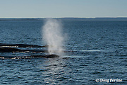 humpback whales, Megaptera novaeangliae, spouting or blowing, off Grand Manan Island, Bay of Fundy, New Brunswick, Canada ( North Atlantic Ocean )