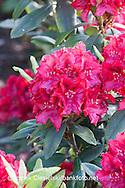 Rhododendron `Erato`