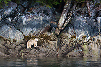 Kermode bear in the Great Bear Rainforest in British Columbia, Canada