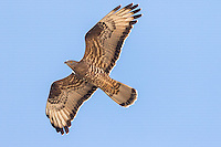 Individual Honey Buzzard Pernis apivorus in flight against blue sky, Eilat, Israel