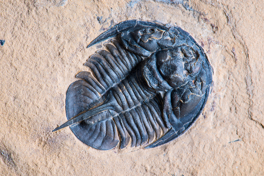 This superbly detailed Genevievella granulatus (sagittal length: 28mm) is a rare Middle Cambrian ptychopariid trilobite collected from the Weeks Formation in the House Range, Millard County, Utah