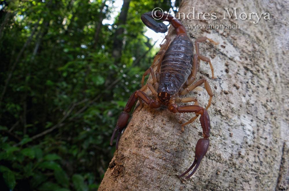 Scorpion (Grosphus ankarana), Ankarana National Park, Northern Madagascar Image by Andres Morya