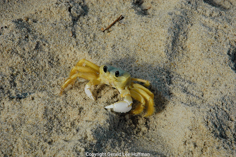 Ghost crab takes time out for a photo op.