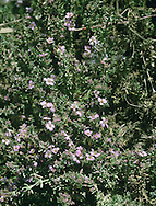 SEA-HEATH Frankenia laevis (Frankeniaceae) Prostrate<br /> Branched, mat-forming and woody perennial. Restricted to the drier, upper reaches of saltmarshes. FLOWERS are 5mm across with 5 pink and crinkly petals (Jun-Aug). FRUITS are capsules. LEAVES are small and narrow with inrolled margins; densely packed and opposite on side shoots. STATUS-Local, from Hants to Norfolk only.