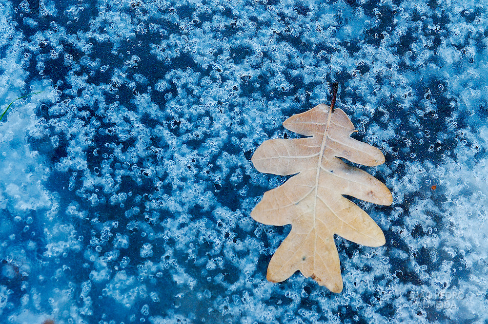 Dried fallen leaf over a frozen puddle