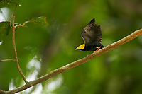 Golden-headed Manakin (Pipra erythrocephala)<br />Adult male performing raised wing display at his display perch.<br /><br />Tiputini Biodiversity Station, Amazon Rain Forest, Ecuador.