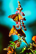MEXICO, MICHOACAN, ANGANGUEO butterflies in Monarch Butterfly Sanctuary