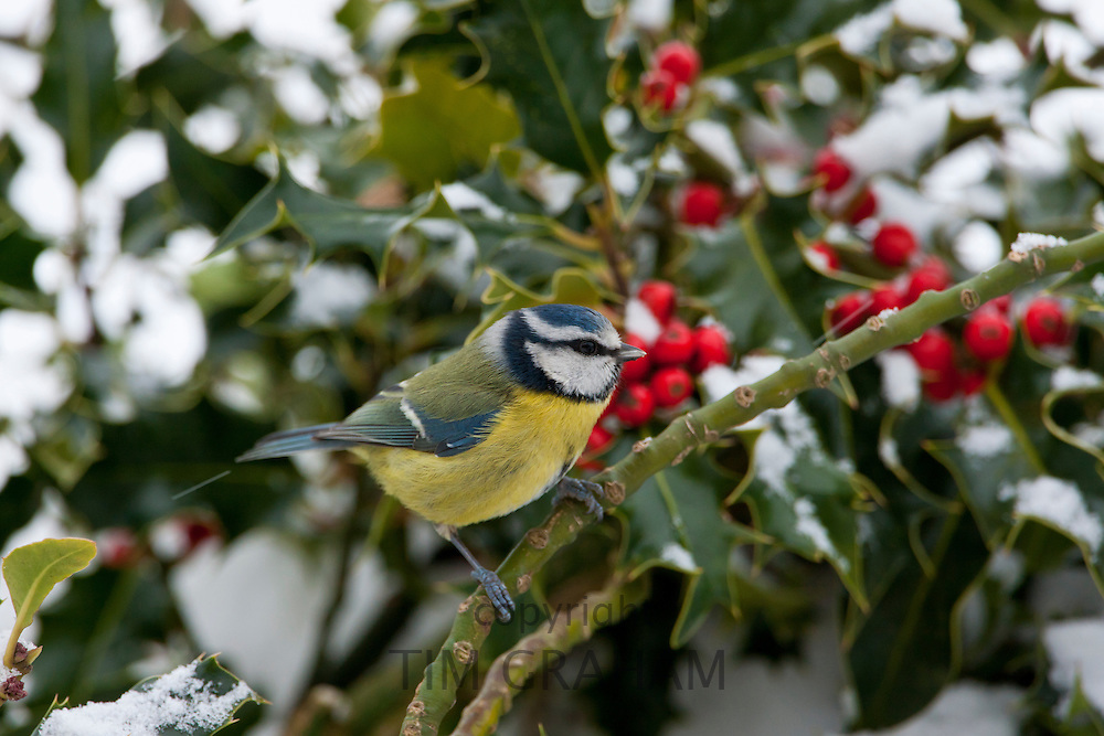 Blue tit perches in holly bush during winter in The Cotswolds, UK