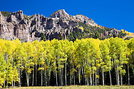 Nearly ripe Cimarron Valley Aspen Trees, another week and the would be the color of lemons. The Pinnacles of High Mesa tower above. Owl Creek Pass