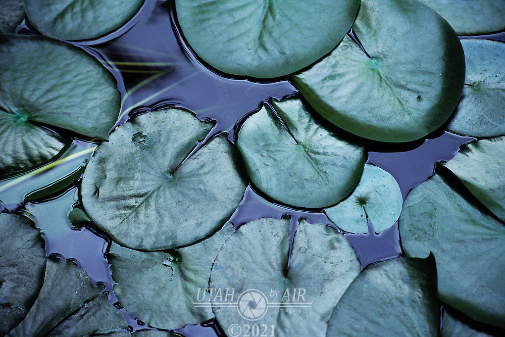 Water lily pads.