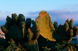 MALTA GOZO VICTORIA JUL00 - Cactusses in the morning light near Victoria. The island is known for it's spiky flora.. . jre/Photo by Jiri Rezac. . © Jiri Rezac 2000. . Tel:   +44 (0) 7050 110 417. Email: info@jirirezac.com. Web:   www.jirirezac.com