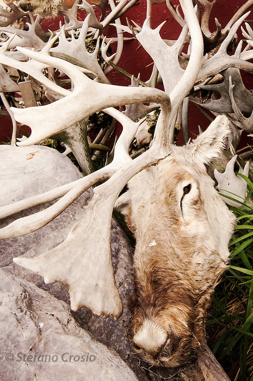 CANADA, Nunavut<br /> Impressive collection of caribou antlers and hunting trophies by an Inuit hunter's home