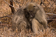 Charm baboons huddling for warmth on a cold windy day in Kruger National Park