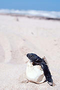 Kemp's ridley sea turtle hatchling, Lepidochelys kempii, Critically Endangered Species, in egg shell (removed from nest which failed to hatch), Rancho Nuevo, Mexico