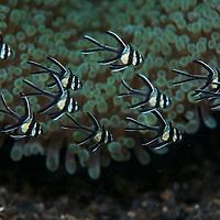 A shoal of juvenile Banggai Cardinalfish, Pterapogon kauderni, Lembeh Island, Lembeh Strait, Pacific Ocean, Indonesia,