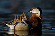 Beijing - Mandarin ducks