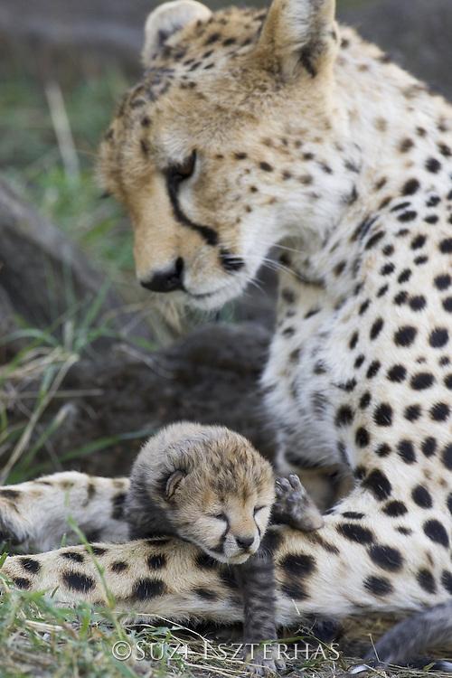 Cheetah<br /> Acinonyx jubatus<br /> Mother and 7 day old cub(s)<br /> Maasai Mara Reserve, Kenya