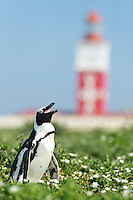 An African Penguin pants in the summer heat with the Bird Island Lighthouse in the background, Bird Island, Algoa Bay, South Africa