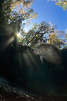 Florida manatee, Trichechus manatus latirostris, a subspecies of the West Indian manatee, endangered. A manatee floats near warming sun rays by a warm freshwater spring. Vertical orientation with sunburst and blue sky above. Three Sisters Springs, Crystal River National Wildlife Refuge, Kings Bay, Crystal River, Citrus County, Florida USA.