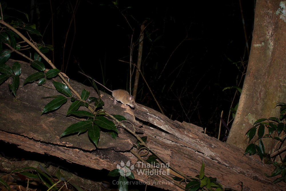 The Indomalayan pencil-tailed tree mouse (Chiropodomys gliroides) is a species of rodent in the family Muridae. It is found in China, India, Indonesia, Laos, Malaysia, Myanmar, Thailand, and Vietnam.