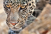 Closeup of a leopard face.