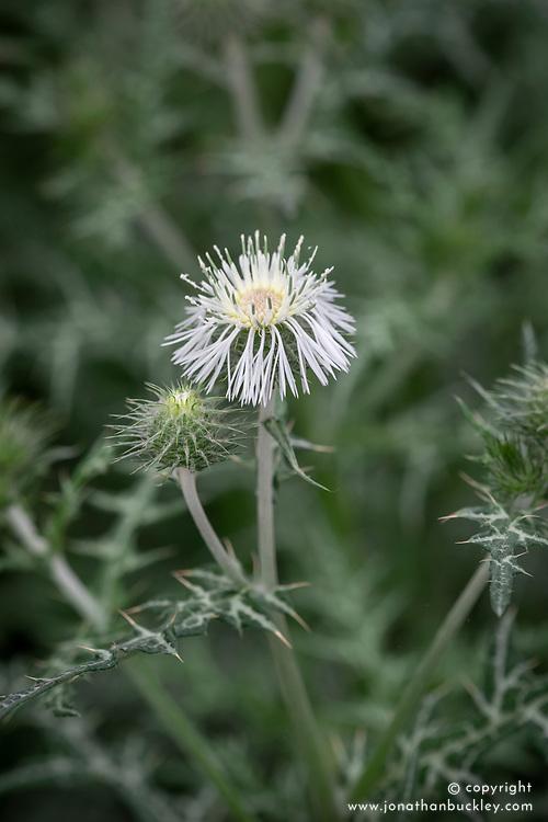 Galactites tomentosa 'Alba' - white flowered