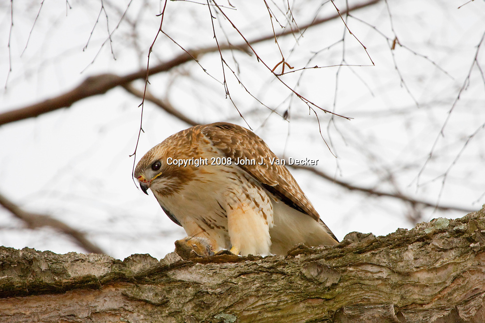 Red-tailed Hawk, Buteo jamaicensis, eating a squirrel